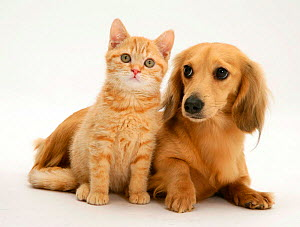 Cream kitten with cream dapple Dachshund puppy NOT AVAILABLE FOR BOOK USE - Jane Burton