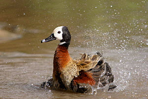 White-faced Whistling Duck / White-faced tree duck {Dendrocygna viduata} bathing, captive, Slimbridge WWT, UK  -  Michael Hutchinson
