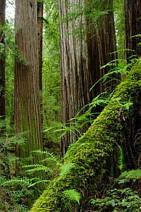 Coastal Giant Redwood forest {Sequoia sempervirens} with moss covered fallen trunk in foreground, Avenue of the Giants, Humboldt Redwoods State Park, California, USA  -  Michael Hutchinson