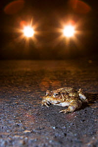 Common European Toad {Bufo bufo} on road with car headlights - many toads have to cross roads when they migrate to their breeding ponds and are run over - Somerset, UK - Michael Hutchinson