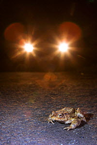 Common European Toad {Bufo bufo} on road with car headlights (many toads have to cross roads when they migrate to their breeding ponds and are run over) Somerset, UK - Michael Hutchinson