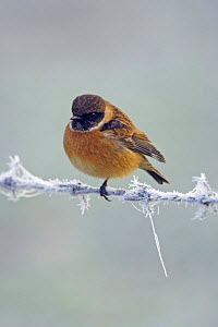 Stonechat {Saxicola rubicola} Male in winter, Wiltshire, UK - David Kjaer