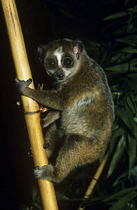 Pygmy slow loris {Nycticebus pygmaeus} male climbing up branch, captive, from Indo-china - Rod Williams