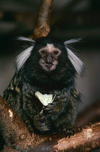 Common marmoset {Callithrix jacchus} captive, from NE Brazil  -  Rod Williams