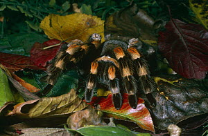 Mexican red-kneed / bird-eating spider {Brachypelma smithi} female, captive, from Mexico  -  Rod Williams