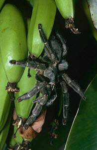 Trinidad chevron spider {Psalmopoeus cambridgei} on bananas, captive, from Trinidad - Rod Williams