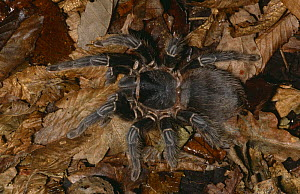 Brazilian salmon / Giant mygale tarantula spider{Lasiodora parahybana} female, captive, from Brazil  -  Rod Williams