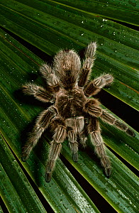 Chilean rose / bird eating spider {Grammostola spatulata} captive, from Chile  -  Rod Williams