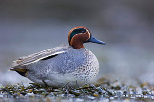Male Common teal duck (Anas crecca) resting on the shore of a tidal lagoon, winter, Montrose, Scotland  -  Niall Benvie