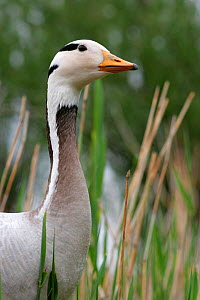 Bar headed Goose {Anser indicus} upper body head and neck profile, captive, UK.  Not available for ringtone/wallpaper use.  -  John Waters