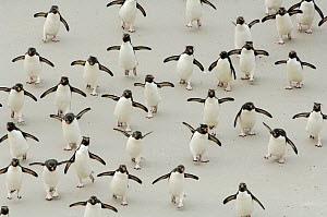 Group of Rockhopper penguins {Eudyptes chrysocome} walking on beach, wings spread, Falkland Islands.  -  Solvin Zankl
