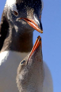 Gentoo Penguin {Pygoscelis papua} chick begging adult for food, Falkland Islands. - Solvin Zankl