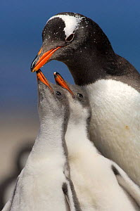 Gentoo Penguin chicks (2-week) {Pygoscelis papua} begging parent for food, Falkland Island. - Solvin Zankl
