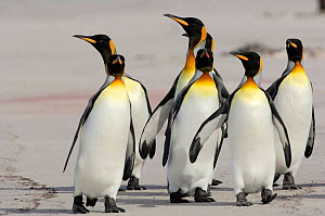 Group of King penguins {Aptenodytes patagonicus} walking along beach, Falkland Islands - Solvin Zankl
