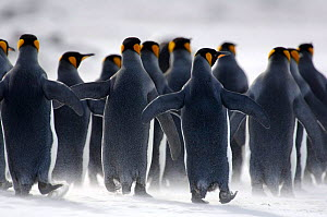 Rear view of King penguins {Aptenodytes patagonicus} walking on beach, Falkland Islands. - Solvin Zankl