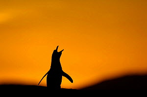Magellanic penguin {Spheniscus magellanicus} silhouette calling at sunset,  Falkland Islands. - Solvin Zankl