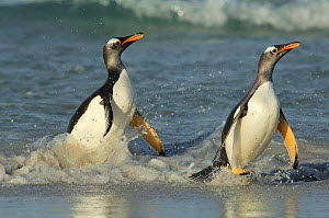 Two Gentoo Penguins {Pygoscelis papua} walking out of shallow surf onto beach, Falkland Islands. - Solvin Zankl