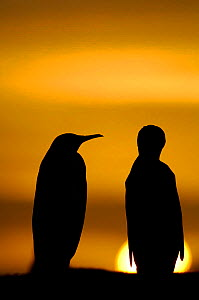 Two King penguins {Aptenodytes patagonicus} silhouetted at sunset, Falkland Islands. - Solvin Zankl