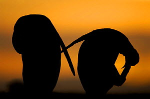 Silhouette of two King penguins {Aptenodytes patagonicus} preening at sunset, Falkland Islands. - Solvin Zankl
