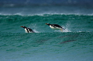 Gentoo Penguin {Pygoscelis papua} porpoising in the sea, Falkland Islands.  -  Solvin Zankl