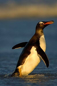 Profile of Gentoo Penguin {Pygoscelis papua} walking in shallow surf, Falkland Islands. - Solvin Zankl