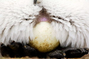 King penguin {Aptenodytes patagonicus} egg balanced on feet, Falkland Islands. - Solvin Zankl