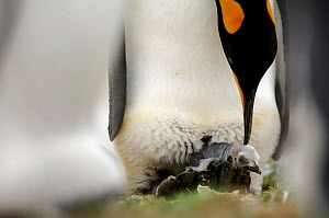 King penguin {Aptenodytes patagonicus} with chick hatching out of egg, Falkland Islands. - Solvin Zankl