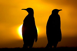 Silhouette of two king penguins {Aptenodytes patagonicus} at sunset, Falkland Islands - Solvin Zankl