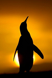 Silhouette of King penguin {Aptenodytes patagonicus} standing tall during display, at sunset, Falkland Islands.  -  Solvin Zankl
