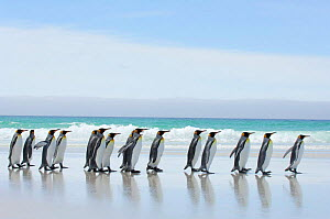 Group of king penguins {Aptenodytes patagonicus} profile walking in line along beach, Falkland Islands - Solvin Zankl