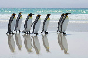 Group of King penguins {Aptenodytes patagonicus} walking in line along beach with reflection in wet sand, Falkland Islands. - Solvin Zankl