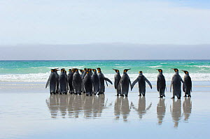 Group of King penguins {Aptenodytes patagonicus} rear view on beach, Falkland Islands. - Solvin Zankl