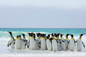 Group of King penguins {Aptenodytes patagonicus}  walking in shallow surf onto beach, Falkland Islands. - Solvin Zankl