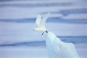 RF- Ivory gull (Pagophila eburnea / alba) taking off from ice. Baffin Is, Canada. (This image may be licensed either as rights managed or royalty free.) - Staffan Widstrand
