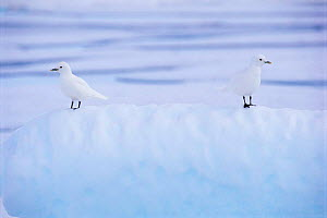 Two Ivory gulls camouflaged on ice {Pagophila eburnea / alba} Baffin Island, Canada  -  Staffan Widstrand