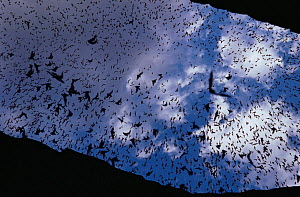 Mexican free tailed bats (Tadaria brasilienses mexicana) mass emergence at dusk from cave entrance, Carlsbad Caverns NP, New Mexico, USA - John Cancalosi