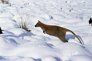 Red necked wallaby {Macropus rufogriseus} hopping through snow, Tasmania, Australia  -  John Cancalosi