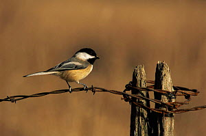 Black capped chickadee {Poecile atricapillus} Wisconsin, USA  -  Larry Michael
