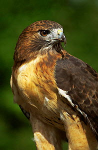 Red tailed hawk {Buteo jamaicensis} captive, Wisconsin, USA  -  Larry Michael