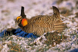 Prairie chicken {Tympanuchus cupido} mating display, Wisconsin, USA  -  Larry Michael