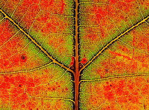 Close up of leaf of Sugar maple {Acer saccharum} showing colour change in autumn, Derbyshire, UK  -  Chris O'Reilly