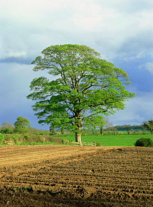 Field maple tree {Acer campestre} in hedgerow of ploughed field, Derbyshire, UK  -  Chris O'Reilly