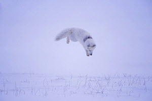 Arctic fox {Alopex lagopus} hunting rodents under the snow, North Slope, Alaska. Sequence 2/3.  -  Steven Kazlowski