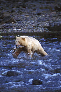 Spirit / Kermode bear {Ursus americanus kermodei} white sow with Salmon walking across river in temperate rainforest, Central British Columbia, Canada. - Steven Kazlowski