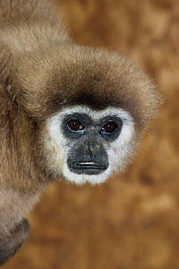 White handed gibbon {Hylobates lar} female, captive, from SE Asia  -  Rod Williams