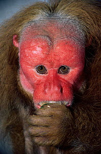 Red Uakari monkey {Cacajao rubicundus} male, captive, from Brazil and Colombia  -  Rod Williams