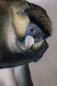 Schmidt's guenon {Cercopithecus ascanius schmidti} female, captive, from Central Africa - Rod Williams