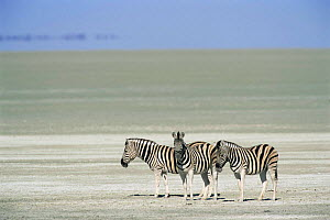 Three Common zebra {Zebra burchelli} on the Etosha pan, Etosha NP, Namibia - Tony Heald
