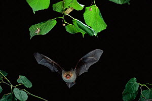 Bechstein's bat hunting insects at night {Myotis bechsteinii} Gabon - Dietmar Nill