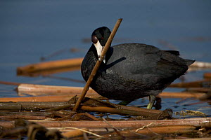 American Coot {Fulica americana} carrying material to construct nest, NY, USA.  -  John Cancalosi